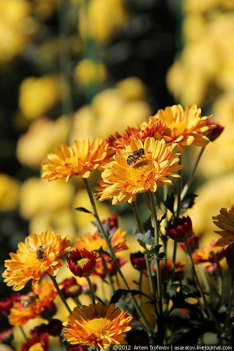 Язык цветов желтая хризантема