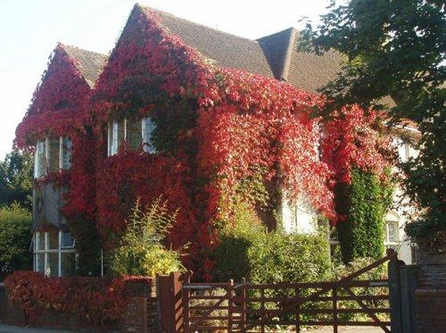 Заросшие плющом дома осенью