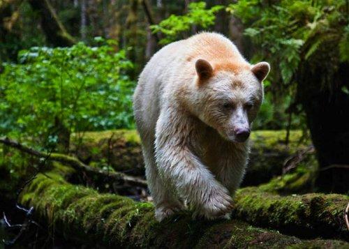 Медведь-призрак, обитающий в канадских лесах