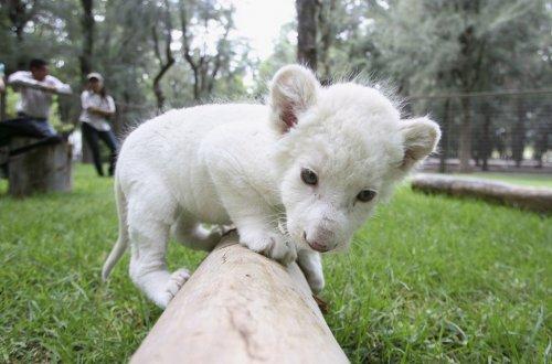 Львенок редкого, белого окраса родился в Мексиканском зоопарке