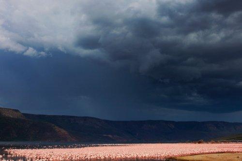 Скопления розовых фламинго на озерах Кении