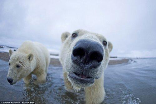 Белые медведи с близкого расстояния