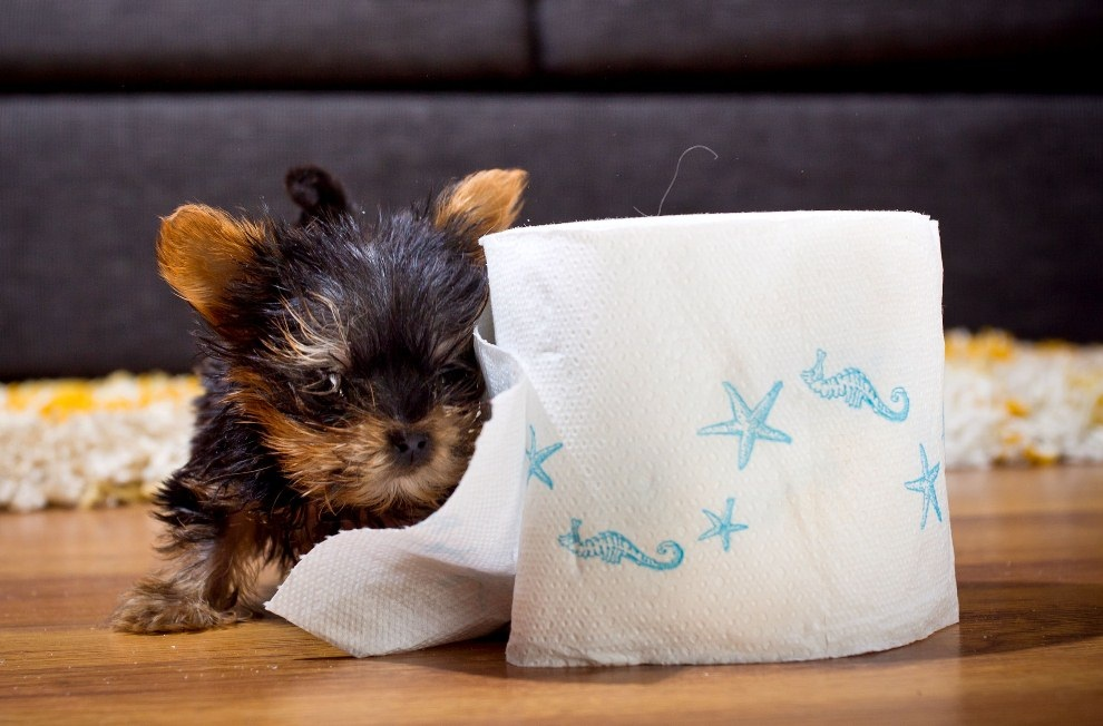 the smallest dog in the world - 990×652