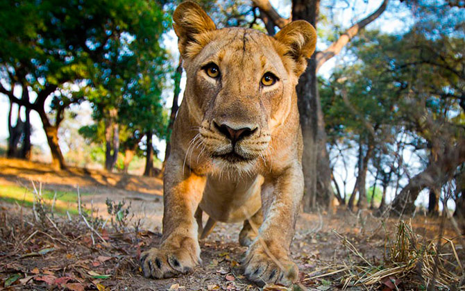 Чтобы подобраться к диким животным поближе и сделать фото ,приходится