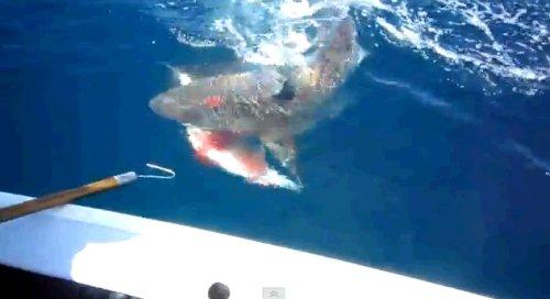 Атака акулы на cевере Квинсленда