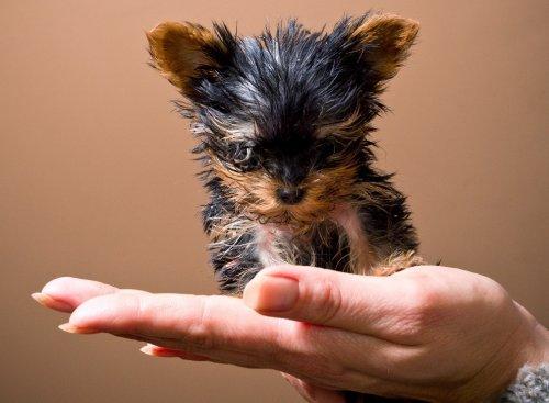 Мэйси – самая маленькая собачка в Польше