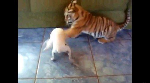 Забавный тигренок резвится в квартире