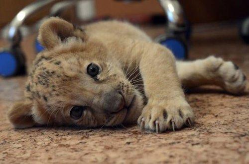 Киара – первый в мире детёныш лелигра родился в Сибири