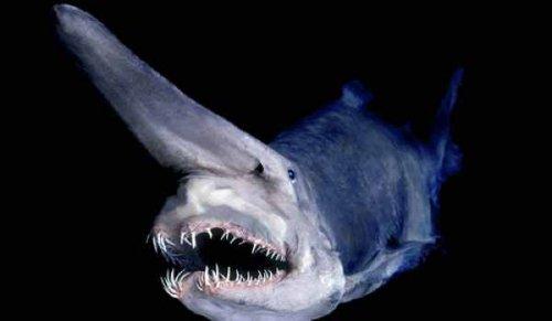 Акула-гоблин это поистине странное существо.  В 1985 году она был обнаружена в водах у восточного побережья Австралии.