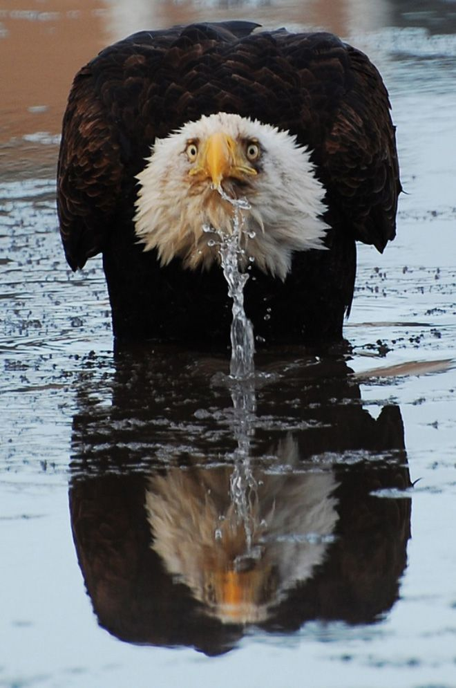 фото орла с демотиватор благодарен читателям, сли