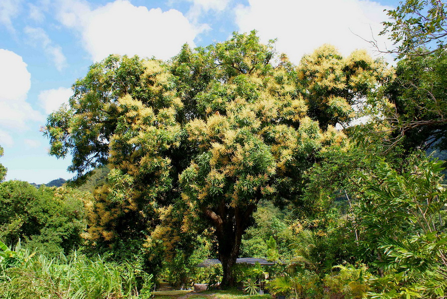 манго растение