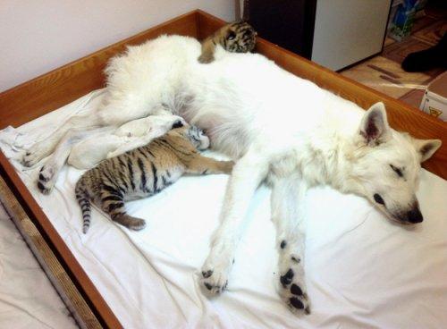 Белая швейцарская овчарка взялась за воспитание тигрят