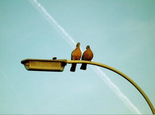 Один эпизод из жизни голубей