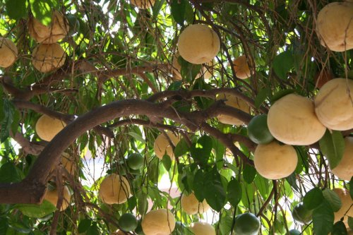 Растения, на которых растут фрукты