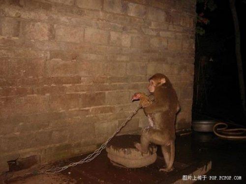 Необычная дружба обезьянки и курицы