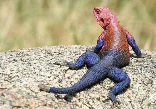 Обыкновенная агама – самая продаваемая ящерица в зоомагазинах