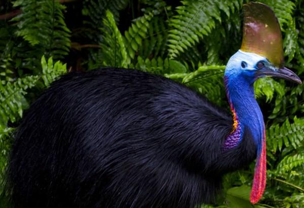 Он обитает в тропических лесах Северо-Западной Австралии и Новой Гвинеи.