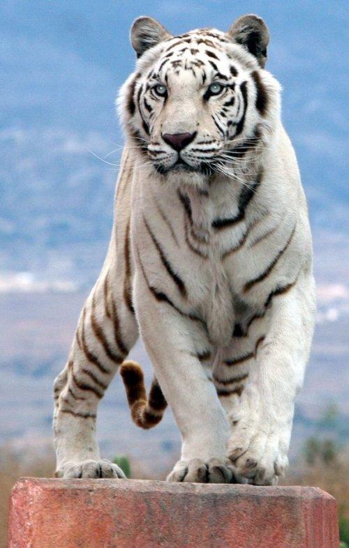 Красота и величие белых тигров