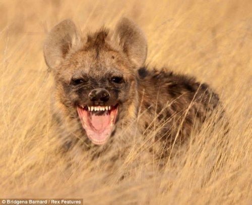 Вы видели как смеется гиена?