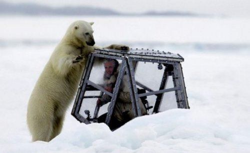Близкое знакомство с белым медведем
