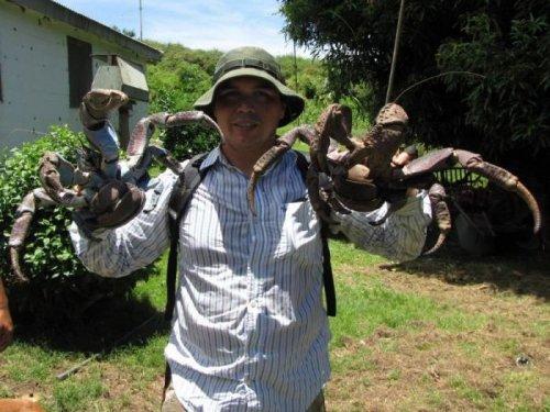 Кокосовый краб – самое крупное в мире наземное членистоногое (25 фото)