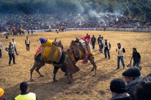 Борьба верблюдов в Турции