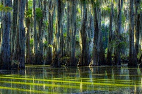 Сказочные пейзажи кипарисовых лесов озера Каддо (22 фото)