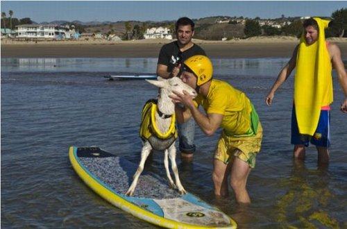 Гэути – первая и единственная в мире коза-серфингистка (13 фото)