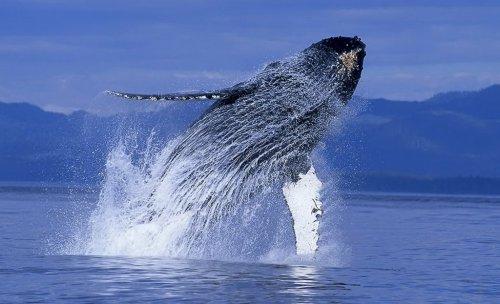 Whale watching, или Прыжки китов на расстоянии нескольких метров (16 фото)