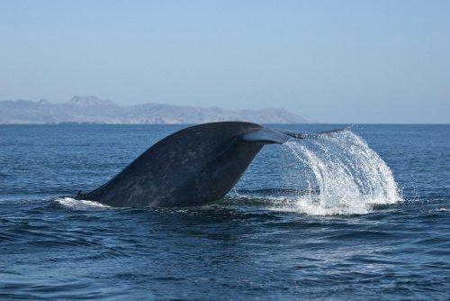 Whale watching, или Прыжки китов на расстоянии нескольких метров