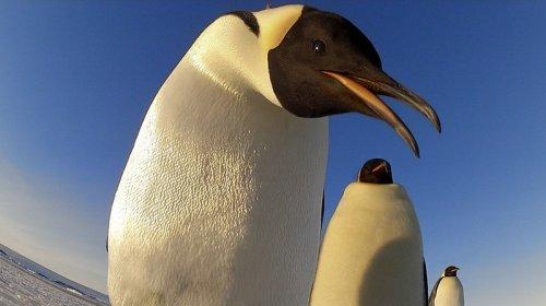 Будни пингвинов (8 фото + 1 видео)