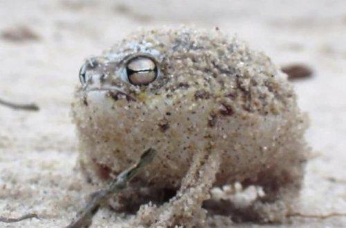 Мяукающая лягушка