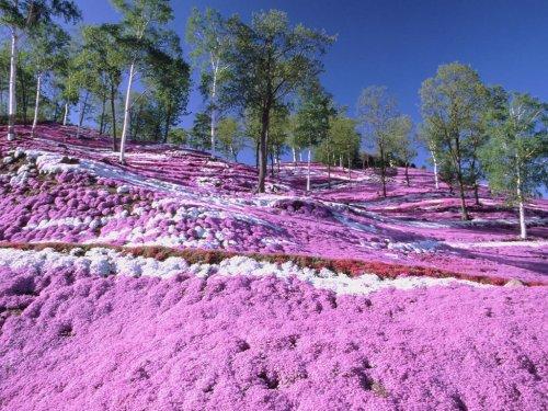 Цветущий холм Shibazakura в японском парке Хицужияма (26 фото)