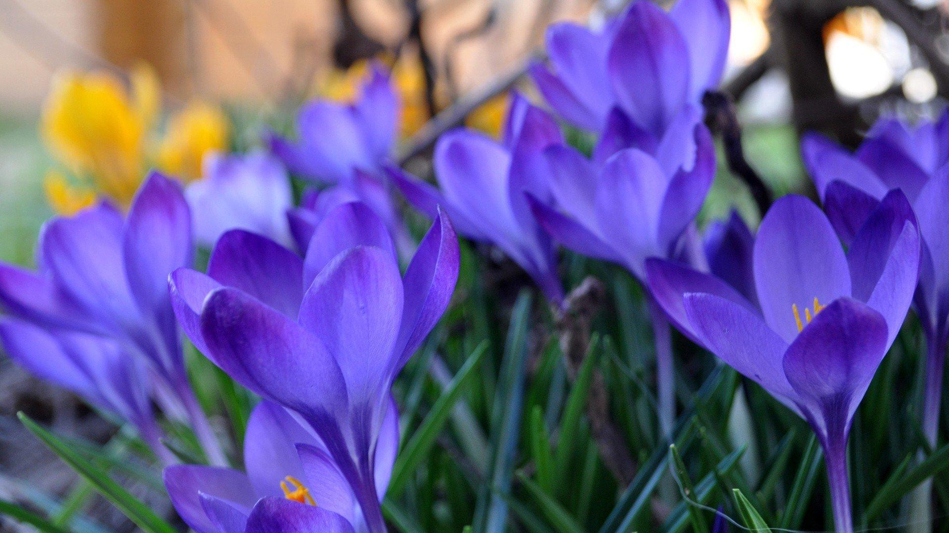 Обои на стол цветы весна