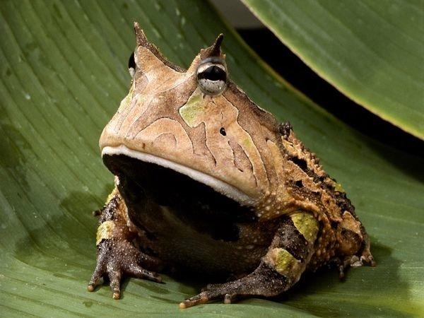 У лягушке есть член