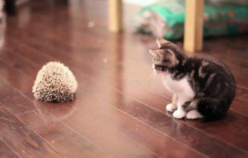 Знакомство котёнка с ёжиком
