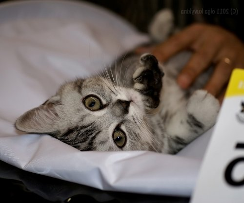 Пушистые участники выставки кошек, прошедшей в Москве (25 фото)