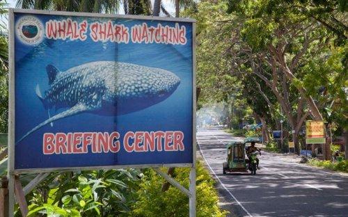 На филиппинском побережье можно покормить с рук китовых акул (15 фото)