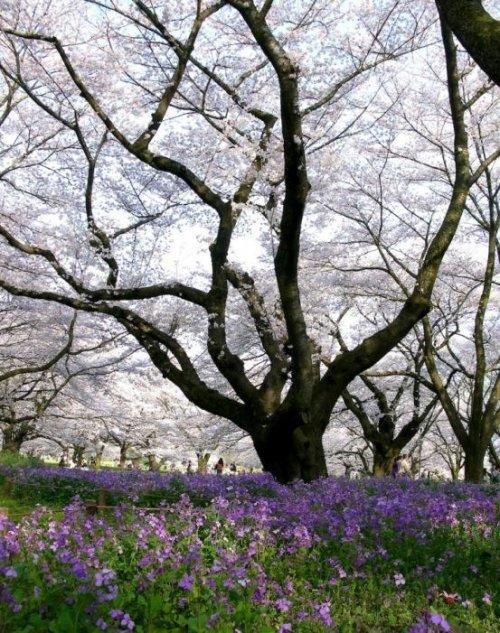 В Японии на декаду раньше обычного зацвела сакура