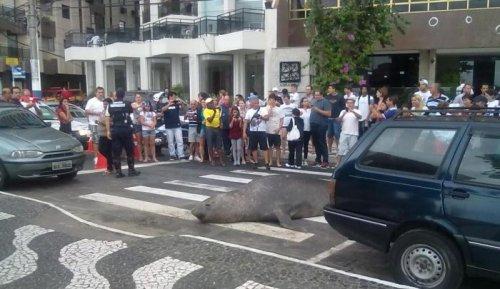 Морской лев прогулялся по улицам бразильского города (5 фото)