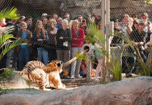 Перетягивание каната с тигром (6 фото + 1 видео)