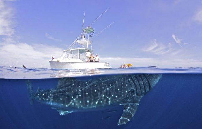 Фото акулы самая большая