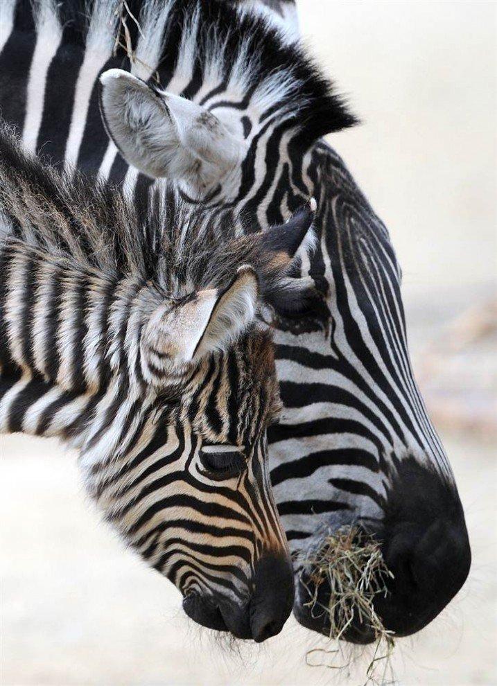 Картинка зебра с детенышем