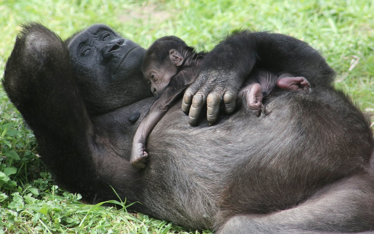 Gorillas mating humans sex videos sex picture