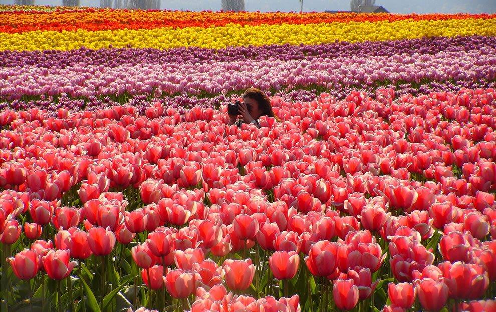 дивные фотографии тюльпанов марксу институт