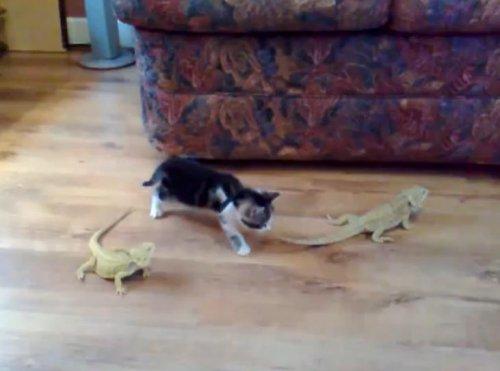 Первое знакомство котёнка с ящерицами