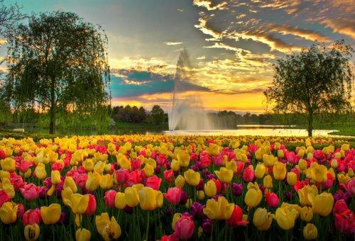Цветущие тюльпаны (33 фото)