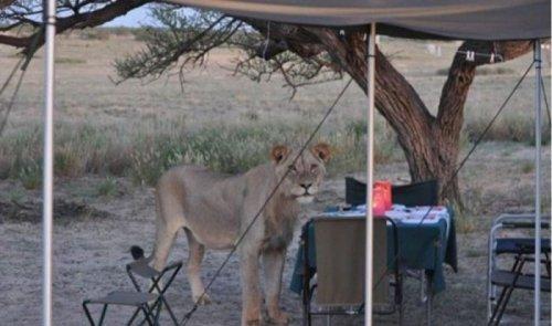 Львы тоже любят ходить в гости (6 фото)