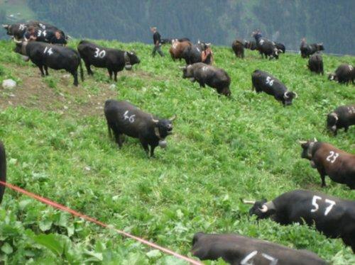 Коровьи бои в Швейцарии (11 фото)
