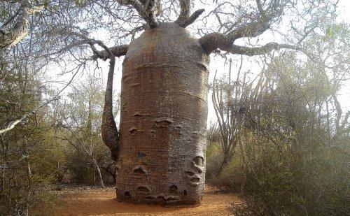 Мадагаскарский баобаб-чайник (3 фото)